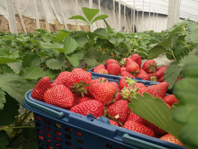草莓!葡萄!绿茶!嵖岈山踏春采摘节福利来袭~速来领取